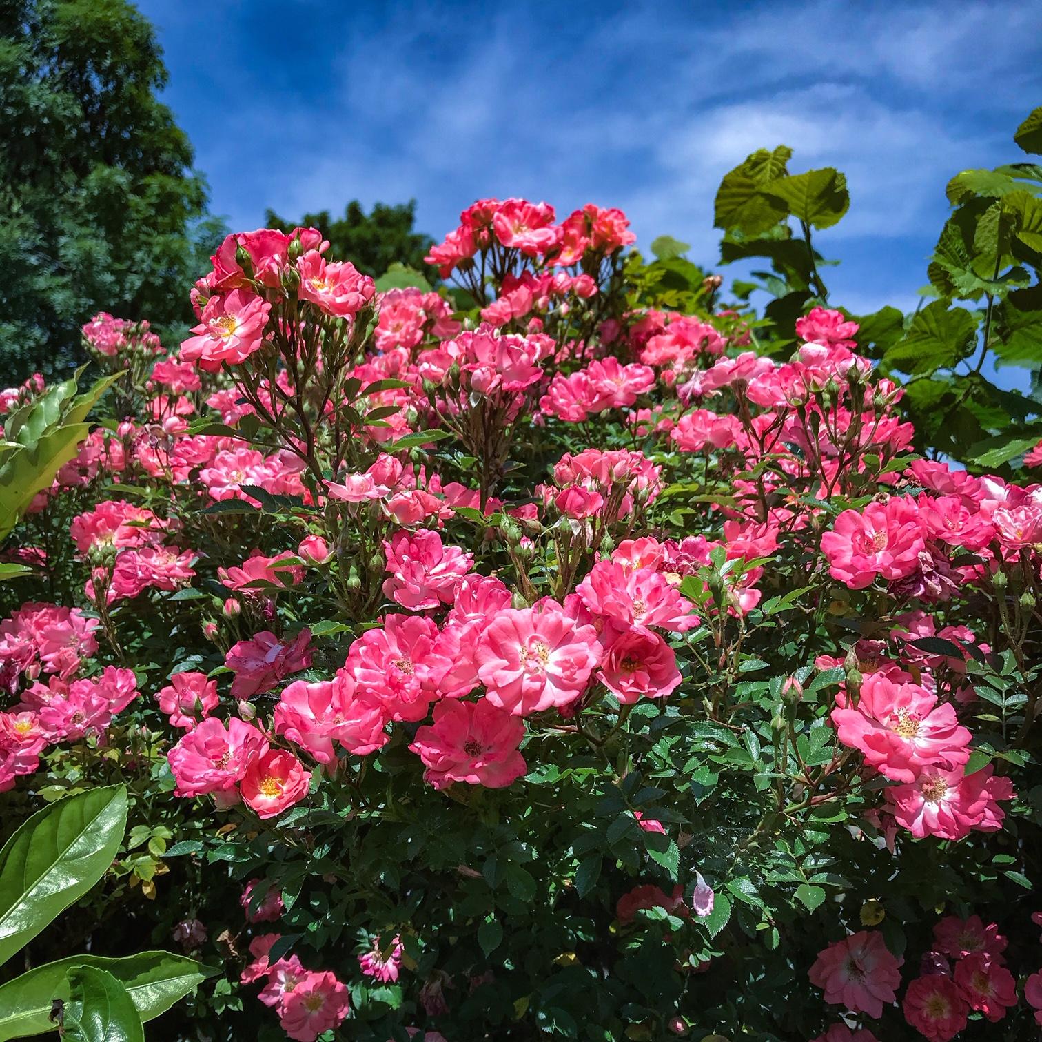 Beyond Bloom Garden Maintenance - Climbing Rose - Streatham - London