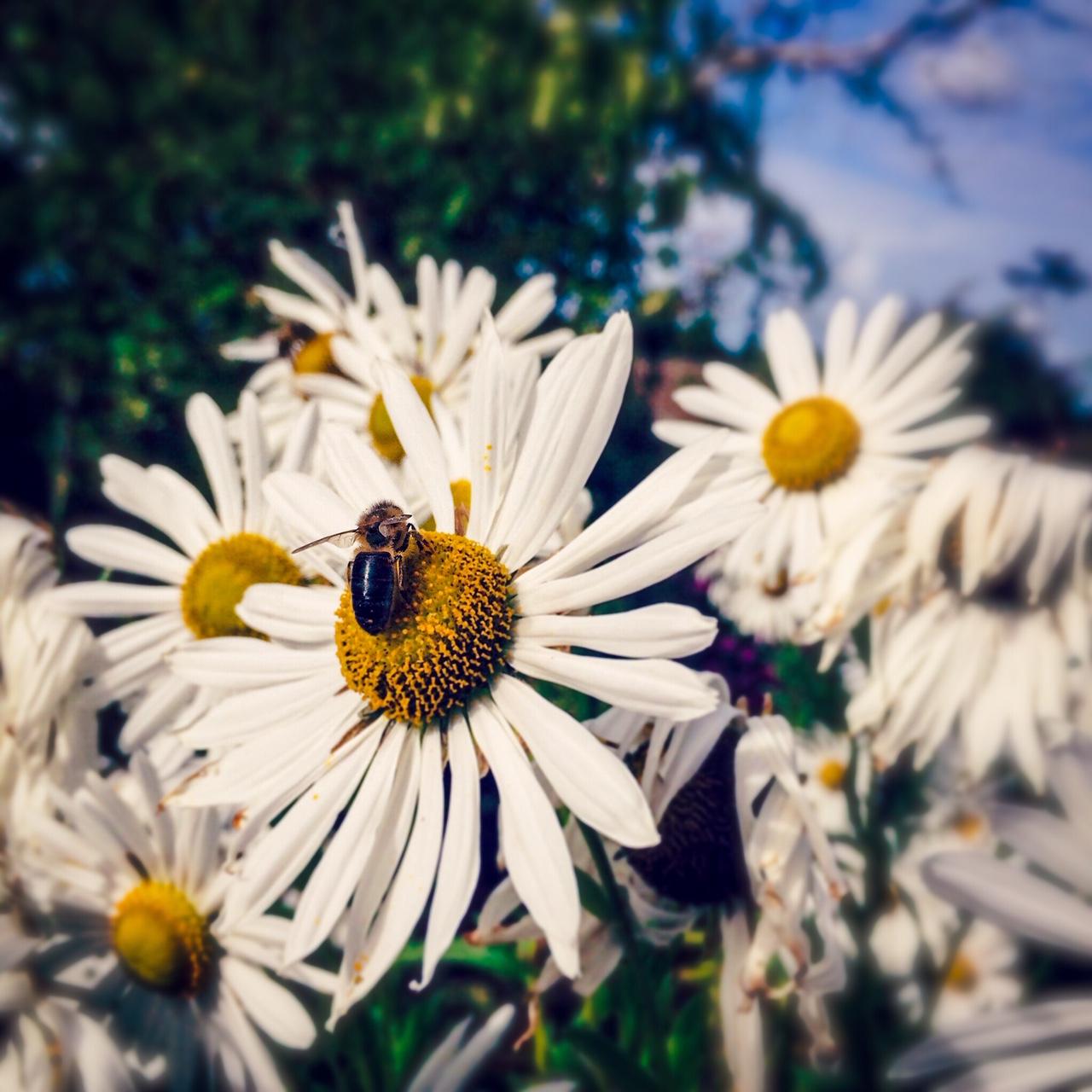 Beyond Bloom Garden Maintenance - Leucanthemum - Streatham - London