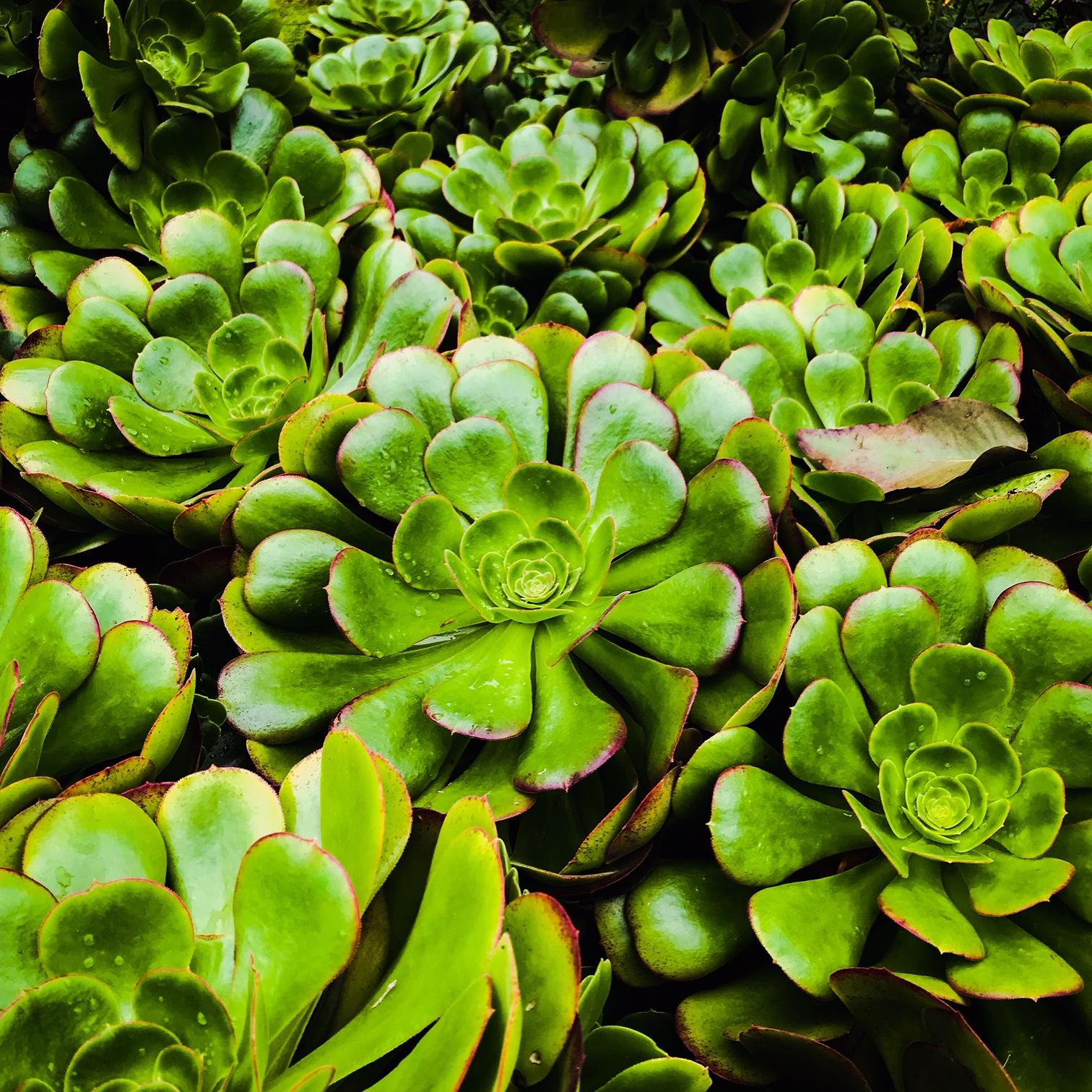 Beyond Bloom Garden Maintenance - Aeonium - Clapham - London